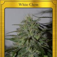 White Chem Auto Feminised Seeds