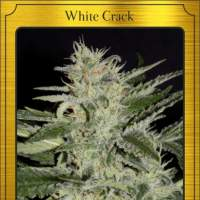 White Crack Auto Feminised Seeds