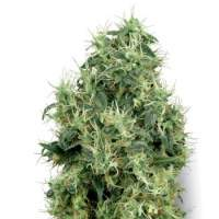 White Gold Feminised Seeds