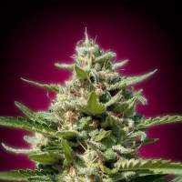White Kush Feminised Seeds
