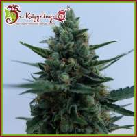 White Rush Auto Feminised Seeds
