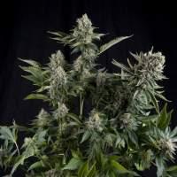 White Widow CBD Feminised Seeds