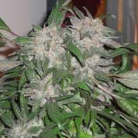 White Widow Express AUTO Feminised Seeds