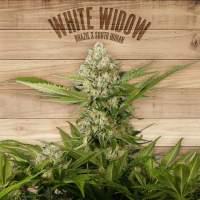 White Widow Feminised Seeds