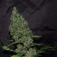 White Widow x The Ultimate Regular Seeds