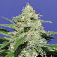Widow Bomb Regular Seeds