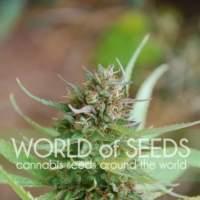 Strawberry Blue Feminised Seeds