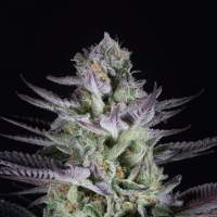 Blueberry Cookies Feminised Seeds