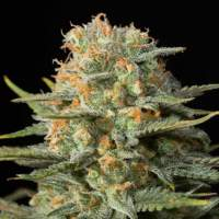 Amnesia CBD Feminised Seeds