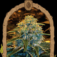 Z & Z Feminised Seeds