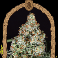 Zkittalicious Feminised Seeds