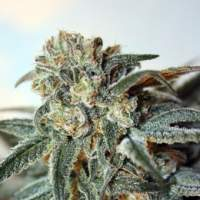 Zombie Kush Feminised Seeds