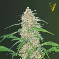 A K 77 V  Auto  Feminised  Cannabis  Seeds