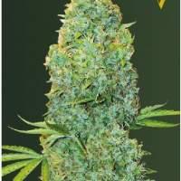 Amnesia  Haze  Auto  Feminised  Cannabis  Seeds