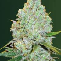 Amnesium  Auto  Feminised  Cannabis  Seeds