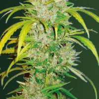 Big  Angel  Auto  Feminised  Cannabis  Seeds