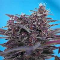 Black  Cream  Auto  Feminised  Cannabis  Seeds