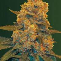 Blow  Dream  Auto  Feminised  Cannabis  Seeds
