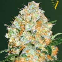 Bubblegum  P R O  Auto  Feminised  Cannabis  Seeds