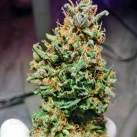 Caramelino  Auto  Feminised  Cannabis  Seeds