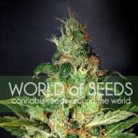 Chronic  Haze  Feminised  Cannabis  Seeds