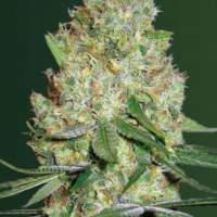 Chronic  Monster  X X L  Auto  Feminised  Cannabis  Seeds