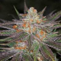 Conspiracy  Kush  Regular  Cannabis  Seeds