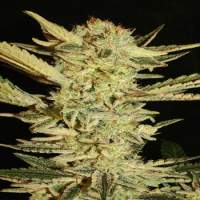 Fini  Auto  Feminised  Cannabis  Seeds