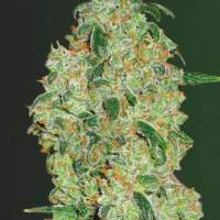 Green  Wild  Shark  Auto  Feminised  Cannabis  Seeds
