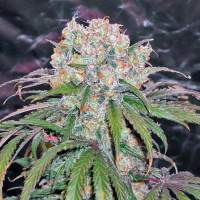 Kaya  Gold  Feminised  Cannabis  Seeds