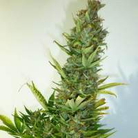 Lemon Haze Autoflowering Regular Seeds
