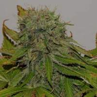 Mama  Mia  Feminised  Cannabis  Seeds