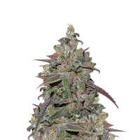 Mendocino Chanel Kush Feminised Cannabis Seeds