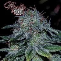 Mystic Cookie Feminised Seeds