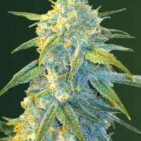 Northern  Light  Auto  Feminised  Cannabis  Seeds