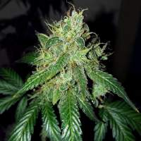 O G  Kush  Auto  Feminised  Cannabis  Seeds