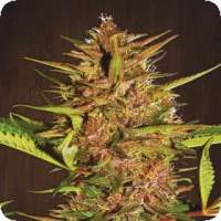 Pakistani Chitral Kush Feminised Seeds