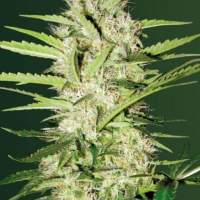 Parmesan  Auto  Feminised  Cannabis  Seeds