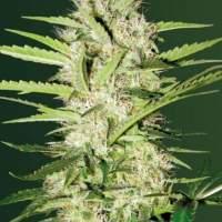 Parmesan  Auto  Feminised  Cannabis  Seeds