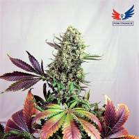 Purple  Haze 1  Feminised  Cannabis  Seeds