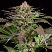 Purps #1 Feminised Seeds