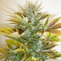Russian Haze Autoflowering Feminised Seeds