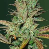 Seemango  Auto  Feminised  Cannabis  Seeds