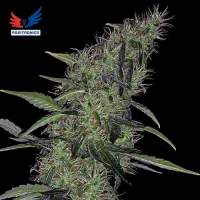 Somango 47  Feminised  Cannabis  Seeds