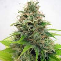 Somango  Feminised  Cannabis  Seeds