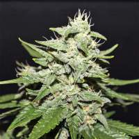 Sour  Crack  A U T O  Feminised Cannabis  Seeds