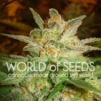 Star 47  Feminised  Cannabis  Seeds