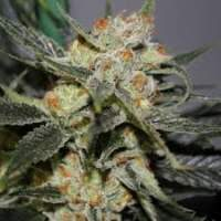 Strawberry  Diesel  F2  Jpg