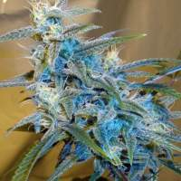 Sugarloaf  Feminised  Cannabis  Seeds