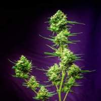 T G A  Subcool  Genetics  Nurse  Jackie  Regular  Cannabis  Seeds